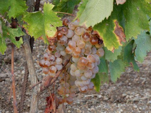 Sardinien - Weingut, Rebe