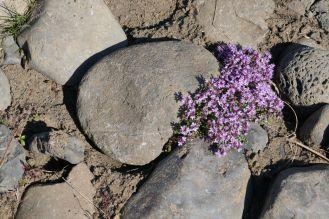 Island - erste Blümchen in Steinlandschaft