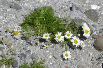 Island - Isafjördur - Kamillenblüten