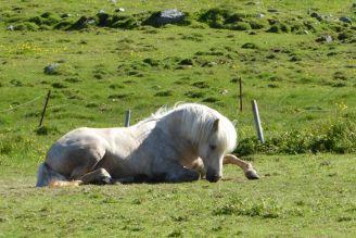 Island - Isafjördur - Pferd