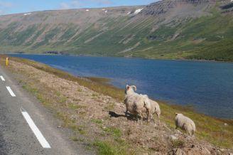 Island - Isafjördur - Schafe am Strassenrand