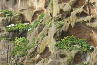 Island - Westm+ñnner Inseln Heimaey - Blumen in der Felswand