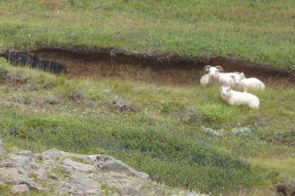 Island - Akureyri - Schafe beim Aldeyjarfoss