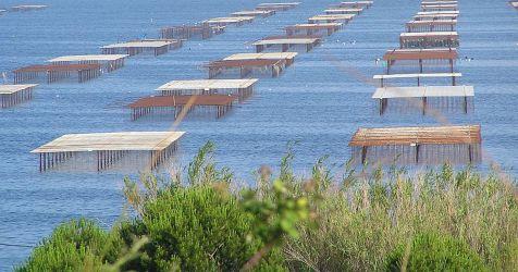 Austernbänke im Wasser
