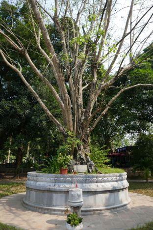 Hanoi - Bodhi Baum